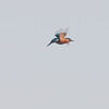 Kingfisher hovering, Alcedo atthis 3604