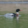 Red-breasted Merganser, Mergus serrator 2883