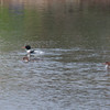 Red-breasted Merganser, Mergus serrator 2911