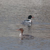 Red-breasted Merganser, Mergus serrator 2921