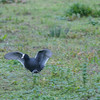Coot fleeing from stoat, Fulica atra 3514