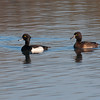Tufted Duck, Aythya fuligula 2674