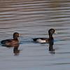 Tufted Duck, Aythya fuligula 2679