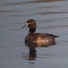 Tufted Duck, femnale, Aythya fuligula 2676