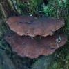 bracket fungus noid 4509