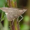 Dusky Pearl, Udea prunalis 1884 Knepp moth