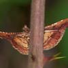 Rosy Tabby, Endotricha flammealis 1877 Knepp moth