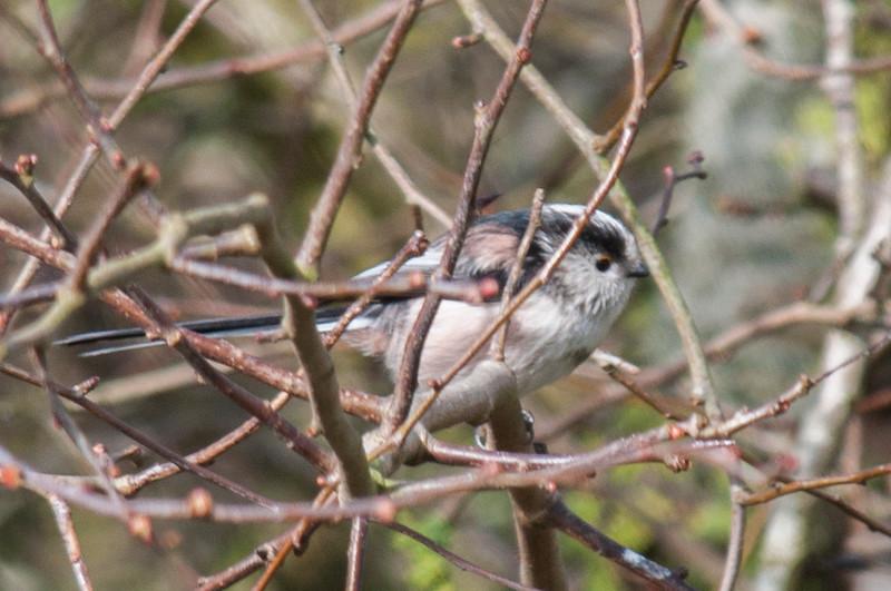 Long-tailed Tit, Aegithalos caudatus 2710