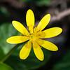 Lesser Celandine, Ranunculus ficaria 5969