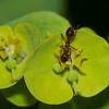 ant noid on Wood Spurge, Euphorbia amygdaloides 7303