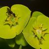 dance fly, Bicellaria vana on Wood Spurge, Euphorbia amygdaloides 7304