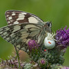 Marbled White, Melanargia galathea with mite larvae, Trombidium breei captured by Crab Spider, Misumena vatia  1344