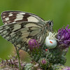 Marbled White, Melanargia galathea with mite larvae, Trombidium breei captured by Crab Spider, Misumena vatia  1345