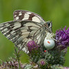 Marbled White, Melanargia galathea with mite larvae, Trombidium breei captured by Crab Spider, Misumena vatia  1364