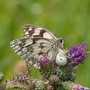 Marbled White, Melanargia galathea with mite larvae, Trombidium breei captured by Crab Spider, Misumena vatia  1339