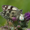 Marbled White, Melanargia galathea with mite larvae, Trombidium breei captured by Crab Spider, Misumena vatia  1343