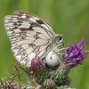 Marbled White, Melanargia galathea with mite larvae, Trombidium breei captured by Crab Spider, Misumena vatia  1368