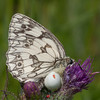 Marbled White, Melanargia galathea with mite larvae, Trombidium breei captured by Crab Spider, Misumena vatia  1370
