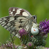 Marbled White, Melanargia galathea with mite larvae, Trombidium breei captured by Crab Spider, Misumena vatia  1362