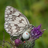 Marbled White, Melanargia galathea with mite larvae, Trombidium breei captured by Crab Spider, Misumena vatia  1375
