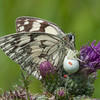 Marbled White, Melanargia galathea with mite larvae, Trombidium breei captured by Crab Spider, Misumena vatia  1360