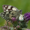 Marbled White, Melanargia galathea with mite larvae, Trombidium breei captured by Crab Spider, Misumena vatia  1346