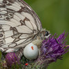 Marbled White, Melanargia galathea with mite larvae, Trombidium breei captured by Crab Spider, Misumena vatia  1372