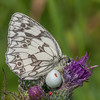 Marbled White, Melanargia galathea with mite larvae, Trombidium breei captured by Crab Spider, Misumena vatia  1377