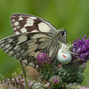 Marbled White, Melanargia galathea with mite larvae, Trombidium breei captured by Crab Spider, Misumena vatia  1354