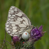 Marbled White, Melanargia galathea with mite larvae, Trombidium breei captured by Crab Spider, Misumena vatia  1369