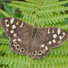 Speckled Wood, Pararge aegeria 1438