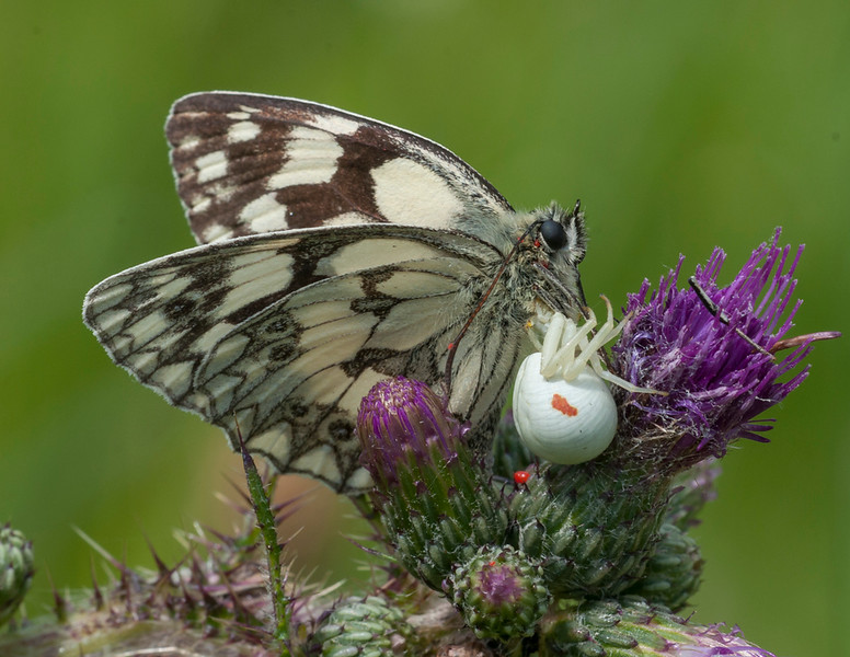 Marbled White, Melanargia galathea with mite larvae, Trombidium breei captured by Crab Spider, Misumena vatia  1347