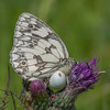 Marbled White, Melanargia galathea with mite larvae, Trombidium breei captured by Crab Spider, Misumena vatia  1373