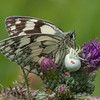 Marbled White, Melanargia galathea with mite larvae, Trombidium breei captured by Crab Spider, Misumena vatia  1342