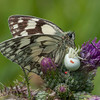 Marbled White, Melanargia galathea with mite larvae, Trombidium breei captured by Crab Spider, Misumena vatia  1353
