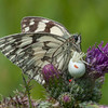 Marbled White, Melanargia galathea with mite larvae, Trombidium breei captured by Crab Spider, Misumena vatia  1363