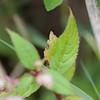 Himalayan Balsam, Impatiens glandulifera 1611