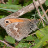 Small Heath, Coenonympha pamphilus 6710