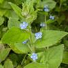 Green Alkanet, Pentaglottis sempervirens 6850