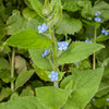 Green Alkanet, Pentaglottis sempervirens 6852