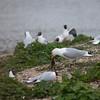 Mallard duckling, Anas platyrhynchos, eaten by Herring Gull, Larus argentatus 6158