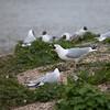 Mallard duckling, Anas platyrhynchos, eaten by Herring Gull, Larus argentatus 6160