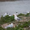 Mallard duckling, Anas platyrhynchos, eaten by Herring Gull, Larus argentatus 6162