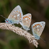 Common Blues mating, Polyommatus icarus 4248