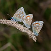 Common Blues mating, Polyommatus icarus 4255