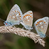 Common Blues mating, Polyommatus icarus 4251