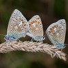 Common Blues mating, Polyommatus icarus 4256