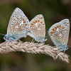 Common Blues mating, Polyommatus icarus 4257