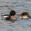 Red-breasted Mergansers, Mergus serrator 9851