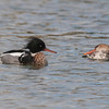 Red-breasted Mergansers, Mergus serrator 9850